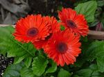 Photo House Flowers Transvaal Daisy herbaceous plant (Gerbera), red