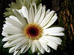Photo House Flowers Transvaal Daisy herbaceous plant (Gerbera), white