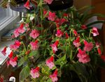 Photo House Flowers Tree Gloxinia herbaceous plant (Kohleria), red