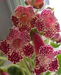Photo House Flowers Tree Gloxinia herbaceous plant (Kohleria), claret