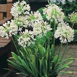 Photo House Flowers African blue lily herbaceous plant (Agapanthus umbellatus), white