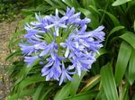 Photo House Flowers African blue lily herbaceous plant (Agapanthus umbellatus), light blue