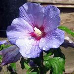 Photo House Flowers Hibiscus shrub , lilac