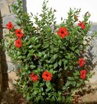 Photo House Flowers Hibiscus shrub , red