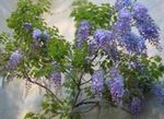 Photo House Flowers Wisteria liana , light blue