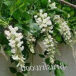 Photo House Flowers Wisteria liana , white