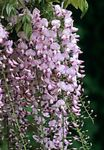 Photo House Flowers Wisteria liana , pink