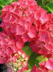 Photo House Flowers Hydrangea, Lacecap shrub (Hydrangea hortensis), red