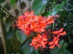 Photo Clerodendron characteristics