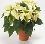 Photo Poinsettia characteristics