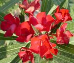 Photo Rose bay, Oleander characteristics