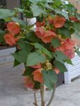 Flowering Maple, Weeping Maple,Chinese Lantern