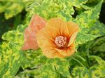 Photo Flowering Maple, Weeping Maple, Chinese Lantern characteristics