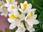 Photo Freesia characteristics