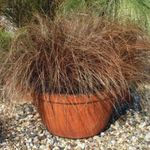 Photo Carex, Sedge characteristics