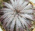 Photo Dyckia characteristics