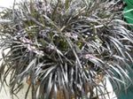 Photo Black Dragon, Lily-turf, Snake's beard characteristics