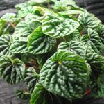 Photo Radiator Plant, Watermelon Begonias, Baby Rubber Plant characteristics