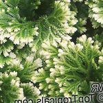 Photo Selaginella characteristics