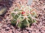 Photo Ferocactus characteristics