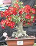 Photo Desert Rose characteristics