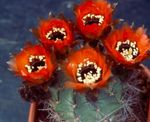 Photo Cob Cactus characteristics