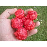 Trinidad Scorpion Moruga 20 Seeds by Pepper Gardeners Photo, new 2018, best price $5.02 review