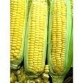 The Dirty Gardener Bi-Color G90 Sweet Corn Seeds, 1 Pound Photo, new 2019, best price  review