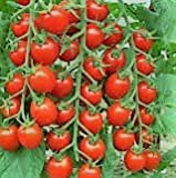 Large Red Cherry Tomato- 75 Seeds Photo, new 2018, best price $5.39 review