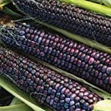 Hopi Blue Flour Corn - 100 Seeds Photo, new 2019, best price $2.99 review