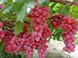 GiAnT~(Seedless)~Pink Reliance GRAPE Seed~1 Seed ONLY Photo, new 2018, best price $3.99 review