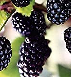 Natchez Thornless Blackberry Fruit Bush Seed Pack Photo, new 2019, best price $1.77 review