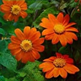 Outsidepride Mexican Sunflower Orange - 500 Seeds Photo, new 2018, best price $6.49 review