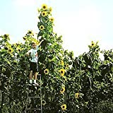 "*Seeds and Things Skyscraper Sunflower the Giant ""12 Feet Tall"" That Will Impress Your Neighbors and Easy for Kids to Grow, Can Eat Raw or Roasted Watch for Goldfinches Photo, new 2018, best price $4.98 review"