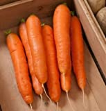 David's Garden Seeds Carrot Bolero SV216 (Orange) 500 Hybrid Seeds Photo, new 2018, best price $8.45 review