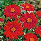 Outsidepride Mexican Sunflower Red - 1000 Seeds Photo, new 2018, best price $6.49 review