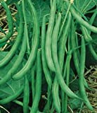 Contender Stringless Bush Bean-400+ Seeds-VALUE PACK! Photo, new 2019, best price $3.99 review