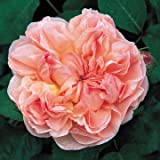 David Austin English Roses Evelyn Photo, new 2018, best price  review