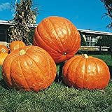Pumpkin BIG MAX Great Heirloom Vegetable By Seed Kingdom 20 Seeds Photo, new 2019, best price $0.99 review