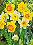 50 Daffodil Mixture - Narcissus Large Cupped Giant Mixture Photo, new 2017, best price $44.95 review