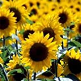 Outsidepride Sunflower Wild - 1000 Seeds Photo, new 2018, best price $6.49 review