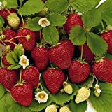 50 Stratified Ruby Red Strawberry Seeds - JDR Seeds Photo, new 2018, best price $1.07 review