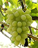 Fruit Grape Seeds 20/Pack Kyoho Grape Seeds Red/Green Mention Child Delicious Nutritious Sweet Natural Snack Organic Seeds for Planting Garden Courtyard (White Seedless Grapes Seeds) Photo, new 2019, best price $9.99 review