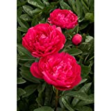 Kansas Peony/Peonies - 3-5 Eyes - Heavy Potted - Perennial - Each 1 Gal by Growers Solution Photo, new 2018, best price $13.95 review