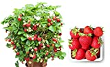 Organic Container Strawberry 315 Seeds + 1 Free Plant Marker - Delicious, Low-Maintenance Photo, new 2020, best price $5.09 review