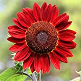 100PCS Sunflower Seeds, Red Sun Sunflower (Helianthus annuus) Non-GMO Seeds by Seed Needs, for Garden Spring Plant Decor Photo, new 2018, best price $7.99 review