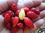 Strawberry Wild Seeds Baron Solemacher Red Everbearing Vegetable for Planting Giant Non GMO 100 Seeds Photo, new 2019, best price $6.98 review