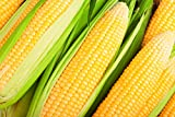 Hometown Seeds Kandy Korn Hybrid Corn Photo, new 2019, best price $5.99 review