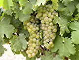 Viognier Wine Grape Vine - Plantable Year-Round! Photo, new 2020, best price $4.50 review