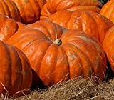 Atlantic Giant Pumpkin Seeds - These Are the Record Breaking Pumpkins! Photo, new 2018, best price $10.99 review